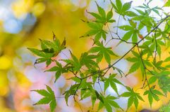 L'osservazione delle foglie di autunno variopinte Momiji Fotografia Stock Libera da Diritti