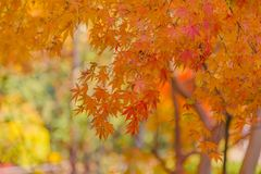 L'osservazione delle foglie di autunno variopinte Momiji Immagini Stock Libere da Diritti