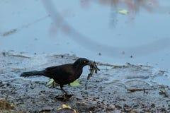 L'ossifragus de Corvus d'oiseau de corneille de poissons forage pour la nourriture image libre de droits