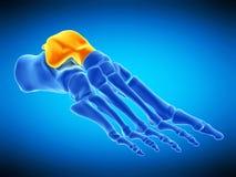 L'osso del talus illustrazione di stock