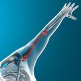 L'osso dell'omero, fa i raggi x del corpo umano Fotografia Stock Libera da Diritti