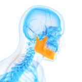 L'osso della mandibola Immagine Stock