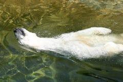 L'ours blanc blanc apprécient dans l'eau Photos libres de droits