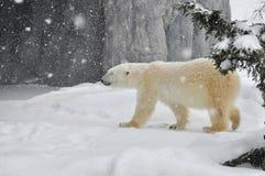 L'ours blanc dans la chute de neige importante images stock