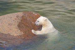 L'ours blanc lutte pour sa durée Images libres de droits