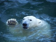 L'ours blanc ondule sa patte Émerge de l'eau la rupture d'une couche mince de glace Photographie stock