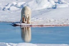L'ours blanc se reflète dans l'étang de glacier près du Spitzberg, Norvège photos stock