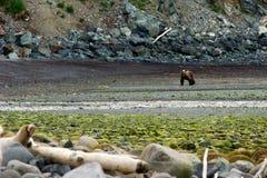 L'ours brun image libre de droits