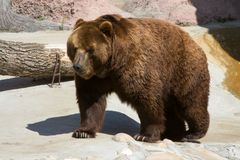 L'ours brun Photographie stock