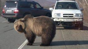 L'ours brun affam? sauvage marchant sur la route et prie pour la nourriture humaine des personnes banque de vidéos