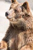 L'ours brun (arctos d'Ursus) est parmi le plus grand et la plupart de powe Image libre de droits