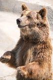 L'ours brun (arctos d'Ursus) est parmi le plus grand et la plupart de powe Photos libres de droits