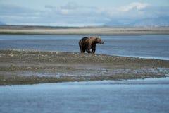 L'ours brun côtier de l'Alaska erre le long de la rivière, du regard et du f image libre de droits