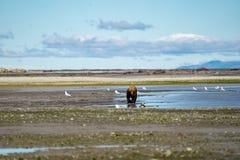 L'ours brun côtier de l'Alaska erre le long de la rivière, du regard et du f photos stock