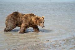 L'ours brun grisâtre côtier de l'Alaska erre le long de la rivière, looki photos libres de droits