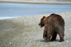 L'ours brun grisâtre côtier de l'Alaska erre le long de la rivière, looki photo libre de droits