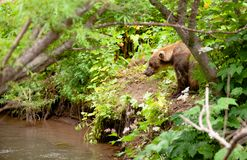 L'ours brun pêche en Russie sur le Kamtchatka Photographie stock