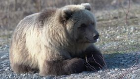 L'ours brun sauvage du Kamtchatka se trouve sur des pierres, respire fortement, regardant autour banque de vidéos