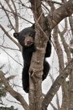 L'ours Cub noir américain effrayé s'arrête dans l'arbre Photos stock