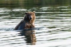 L'ours de l'Alaska Brown nage en rivière de ruisseaux Photographie stock