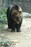 L'ours de marche Photographie stock libre de droits