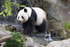 L'ours de panda et ou en bambou géant Image libre de droits