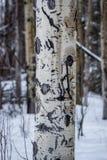 L'ours a griffé Aspen Trunk photo libre de droits