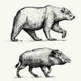 L'ours gris d'ours et le verrat ou le porc sauvage ont gravé tiré par la main dans le vieux style de croquis, animaux de vintage illustration de vecteur