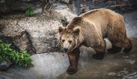 L'ours marchant vers l'appareil-photo Photographie stock libre de droits