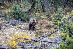 L'ours marche à la recherche de la nourriture Image libre de droits