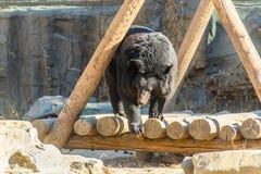 L'ours noir joue dans une terre en bois dans Pékin, Chine photo stock