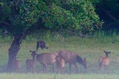 L'ours noir menace le troupeau d'élans Photographie stock libre de droits