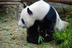L'ours panda examine la distance avec la tête abaissée Photos stock