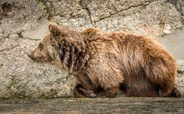 L'ours se couchant au mur en pierre Photos libres de droits