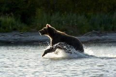 L'ours va sur l'eau. Image libre de droits