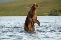L'ours va sur l'eau. Photographie stock