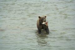 L'ours va sur l'eau. Images libres de droits