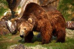 L'ours va sur l'eau. Photo stock