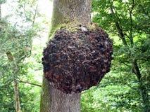 L'outgrowht géant sur un arbre en Quinta da Regaleira dans Sintra Image stock