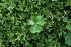 L'oxalide petite oseille sur le fond vert dans le jardin Photos stock
