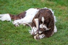 L'?pagneul de springer anglais de race de chien se trouve sur l'herbe et les jeux avec l'owner& x27 ; chaussure de s Grignotement photos stock