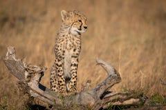 L'petit animal de guépard se tient sur l'herbe d'identifiez-vous photographie stock