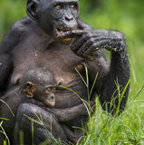 L'petit animal du bonobo de chimpanzé (paniscus de casserole) sur un sein de la mère de soins Haut proche de verticale Photographie stock