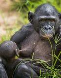 L'petit animal du bonobo de chimpanzé (paniscus de casserole) sur un sein de la mère de soins Haut proche de verticale Photo libre de droits