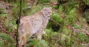 L'petit animal européen mignon de lynx marche dans les bois banque de vidéos