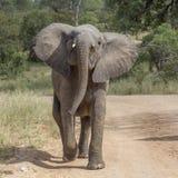 ?l?phant africain de buisson en parc national de Kruger, Afrique du Sud photo stock
