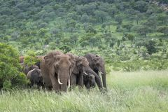 ?l?phant africain de buisson en parc national de Kruger, Afrique du Sud photos libres de droits