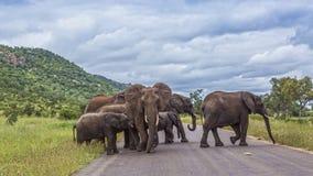 ?l?phant africain de buisson en parc national de Kruger, Afrique du Sud image stock