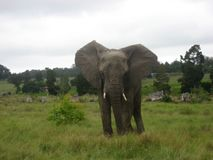 ?l?phant africain images stock