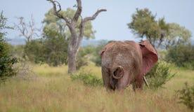 ?l?phant de taureau africain agitant ses oreilles dans le buisson au parc national de Kruger, Afrique du Sud photo stock